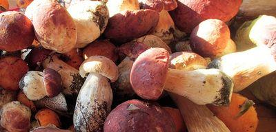 Когда и где растут белые грибы: советы начинающим грибникам