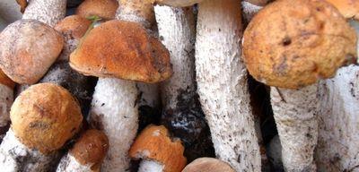 Подосиновик: описание гриба с фото
